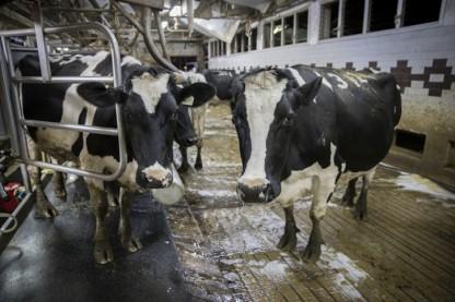 פרות, רפת