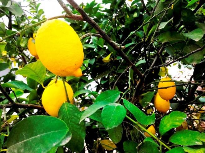 לימון ללא גלעינים